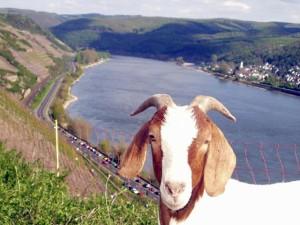 landschaftspflege_mittelrhein_ziege